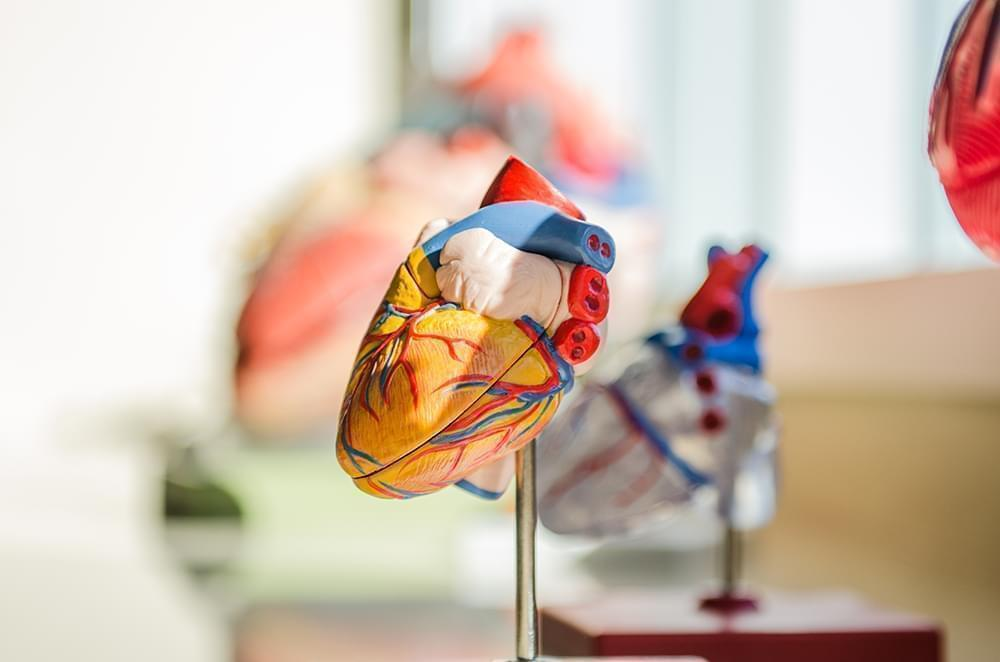 Heart model on display